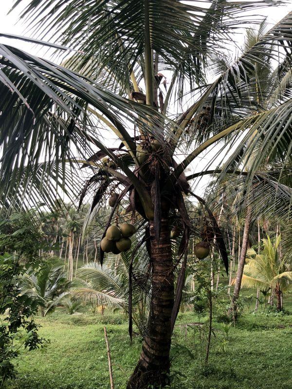 Tout savoir sur la noix de coco